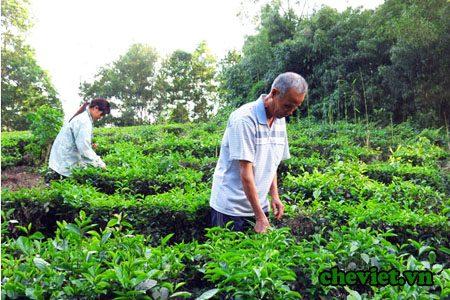 Cựu binh Thái Nguyên trồng chè xanh