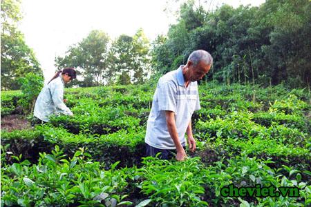 người lính trồng chè Thái Nguyên