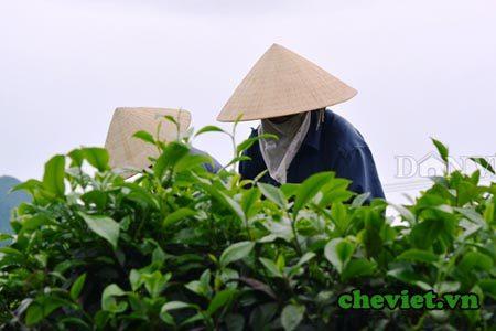 Tổ hợp tác sản xuất chè Thái Nguyên