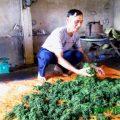 chè Vietgap Thái Nguyên