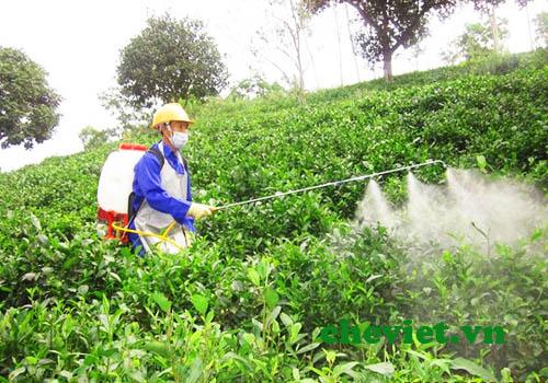 Cần hạn chế sử dụng thuốc BVTV cho cây chè