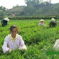 cánh đồng chè Thái Nguyên chục tỷ ở Phú Lương