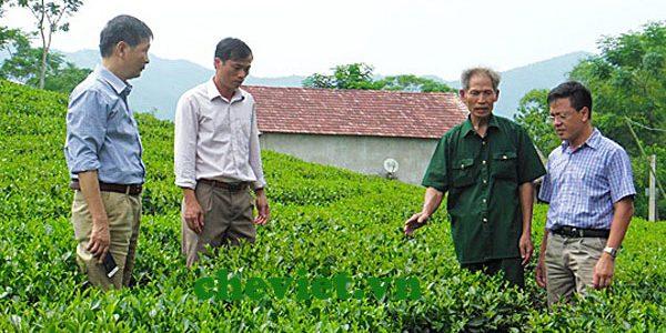 Phấn đấu có 200 ha chè Thái Nguyên VietGAP