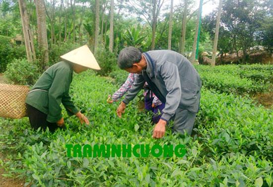 Sản xuất Chè Định Hóa Thái Nguyên