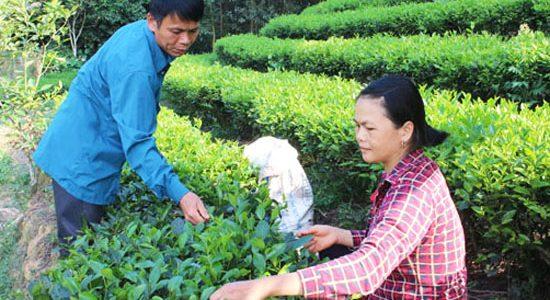Chè Thái Nguyên Na Giang