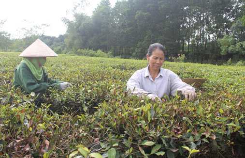 Chè Thái Nguyên chết gây thiệt hại cho người trồng chè