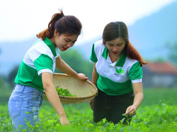 Sản xuất chè hữu cơ thái nguyên gặp khó