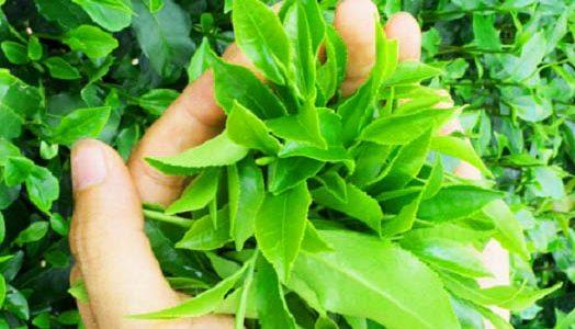 Năng suất trà Thái Nguyên tăng gấp rưỡi