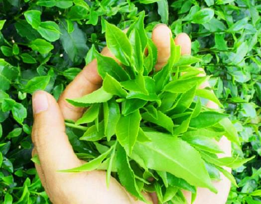 búp trà thái nguyên khi được bón phân than sinh học