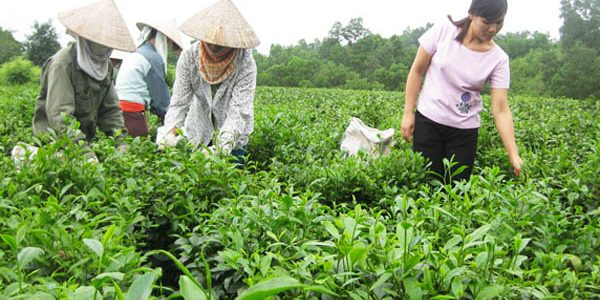 Trà La Bằng Thái Nguyên
