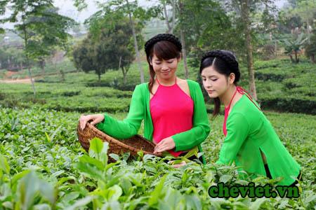 Tìm hiểu nguồn gốc cây chè Thái Nguyên