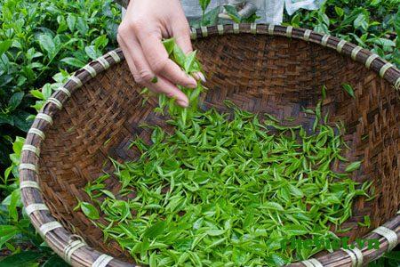 Chè Tân Cương Đinh ngọc đắt nhất Việt Nam
