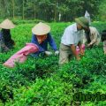 Festival Trà Thái Nguyên lần thứ 3, Festival Trà Thái Nguyên lần thứ 3 năm 2015