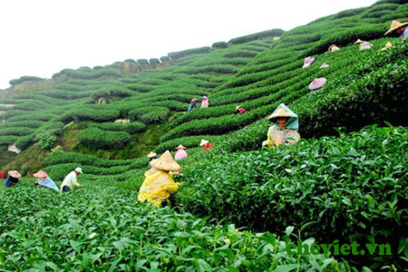 Green tea hill