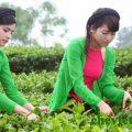 chè trà Thái Nguyên