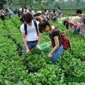 cựu binh thái nguyên trồng chè xanh, Cựu binh Thái Nguyên trồng chè xanh