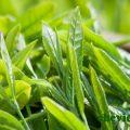 Kỹ thuật chế biến trà xanh Thái Nguyên, Kỹ thuật chế biến trà xanh Thái Nguyên