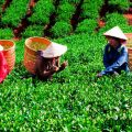 Festival promotes Thai Nguyen tea products, Festival promotes Thai Nguyen tea products