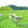 Thái Nguyên hội tụ văn hóa trà Việt, Thái Nguyên hội tụ văn hóa trà Việt