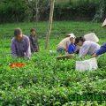 Về với làng nghề chè Thái Nguyên, Về với làng nghề chè Thái Nguyên
