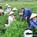 Chè Tân Cương mùa lễ hội