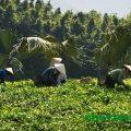 Trà Thái Nguyên: vùng trà Trại Cài mở hội, Trà Thái Nguyên: vùng trà Trại Cài mở hội