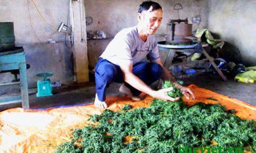 Sản xuất chè VietGAP Thái Nguyên