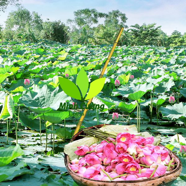 Sen Tây Hồ- Loại sen trăm cánh màu hồng dùng để ướp trà sen