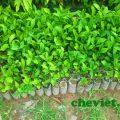 , Đồng bào Mông trồng chè Thái Nguyên