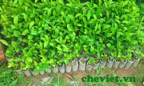 17 ha chè Tân Cương Thái Nguyên được trồng mới