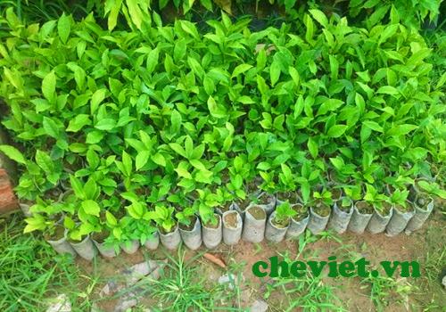 Rất nhiều giống chè Thái Nguyên chất lượng cao được đưa vào trồng.
