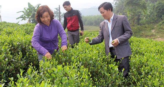 Chè sạch Thái Nguyên tiêu chuẩn VietGAP