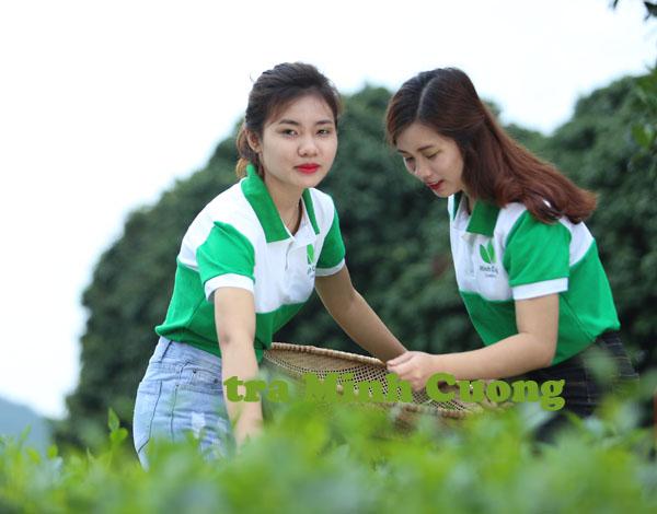 Sản xuất chè Thái Nguyên Vietgap