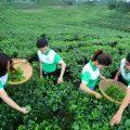 Sản Phẩm Trà Long ẩm của Chè Trà Thái Nguyên