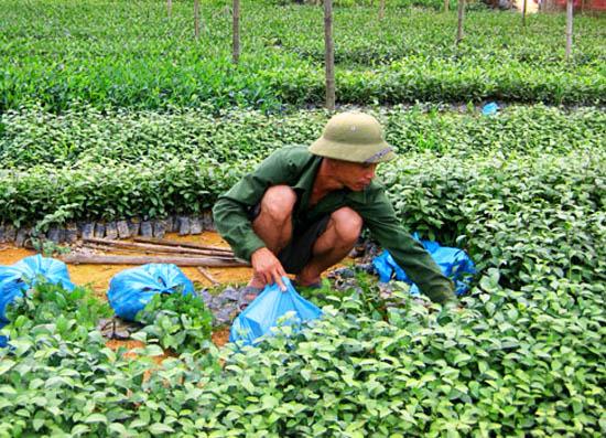 trồng chè xanh