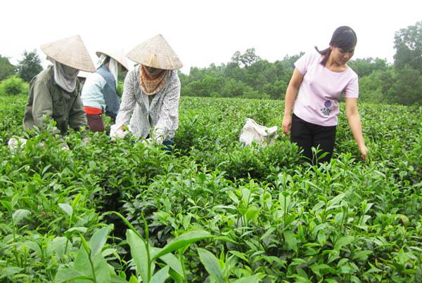 Thu hái trà La Bằng
