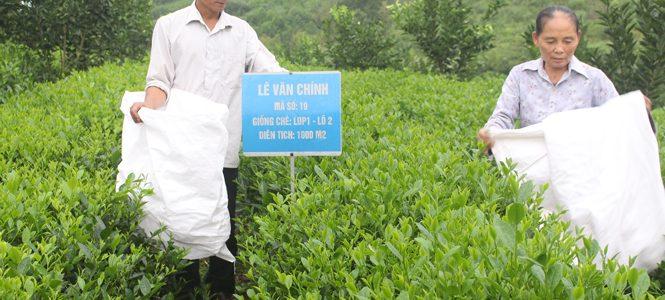 Chè Thái Nguyên Định Hóa trồng gần 170ha chè