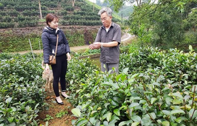 Vườn chè tím Thái Nguyên