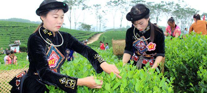 Đồng bào Mông trồng chè Thái Nguyên